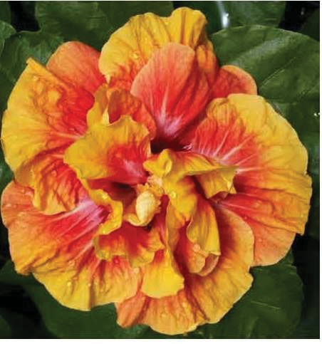 Hibiscus Society Sale Includes More Than 450 Hybrids Fort Myers