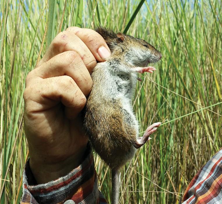 Bailey Tract marsh restoration: Bringing back habitat for hiding