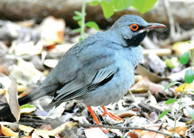 The red-legged thrush is a non-migratory blue-gray bird, found mostly in the Greater Antilles and Bahamas. PAUL WALLER / COURTESY PHOTO