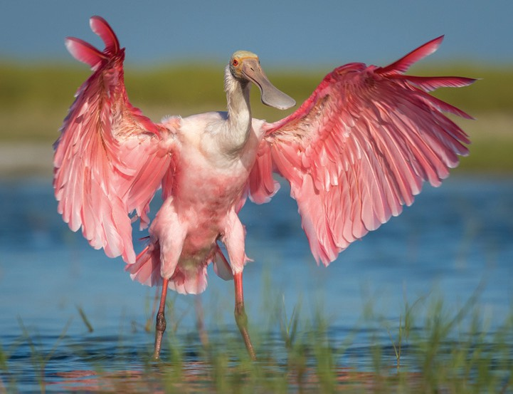 Audubon's roseate spoonbill studies critical to tracking