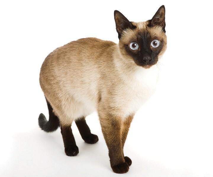 Les points sur les extrémités des chats siamois et des races apparentées sont à température contrôlée.