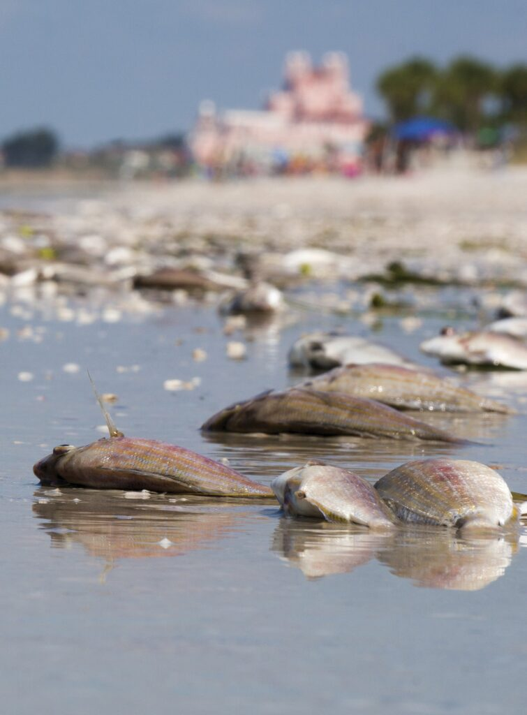 Dead fish line the shore of St. Pete Beach after a red tide on the Gulf of Mexico.  COURTESY PHOTO