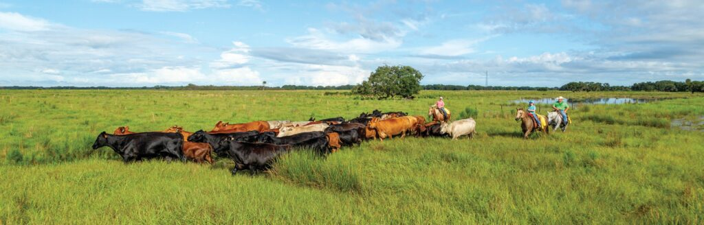Beefmaster cows are driven across a sweeping expanse of Florida prairie at Blackbeard's Ranch.