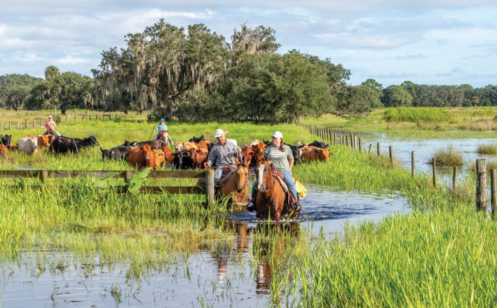 CLOCKWISE FROM TOP LEFT: Brian Broxson and Cassidy Jones lead cows through a pasture flooded with 4 inches of rain the night before. Calves in a pen on Blackbeard's Ranch. Cows and calves are herded into pens where calves are separated out and sent to the livestock market.