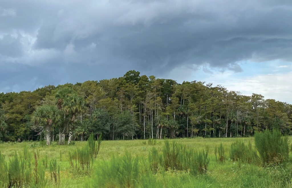 A cypress dome on JB Ranch in Immokalee, which features several different habitats. PHOTO BY MARY WOZNIAK